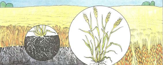 Что такое почва Плодородие Биология Реферат доклад сообщение  Культурные растения на плодородных почвах дают высокие урожаи Такую землю крестьяне называют кормилицей