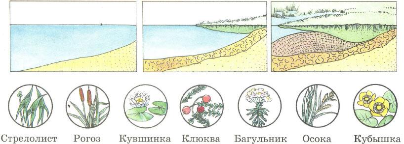 Экосистема болота Превращение озера в болото Растения и животные  Превращение озера в болото