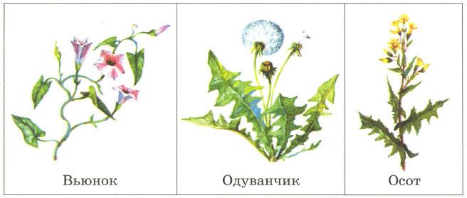Реферат на тему растения поля 345
