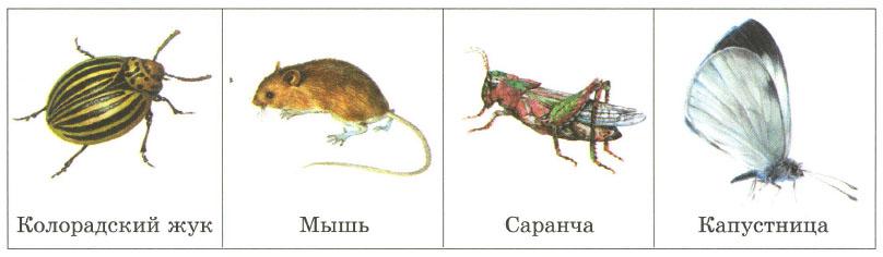 Поле Растения и животные полей Отличия от природных экосистем  Животные вредящие полям колорадский жук мышь саранча капустница