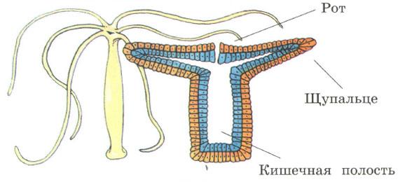 Простейшие и кишечнополостные Строение питание Природоведение  Гидра пресноводная и её строение рот щупальце кишечная полость
