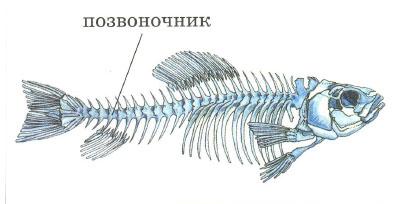 Рыбы строение питание движение органы чувств дыхание  Скелет рыбы