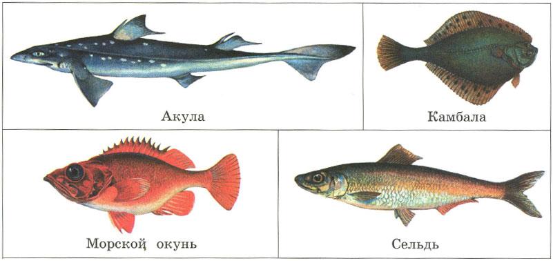 Рыбы строение питание движение органы чувств дыхание  Морские рыбы акула камбала морской окунь сельдь