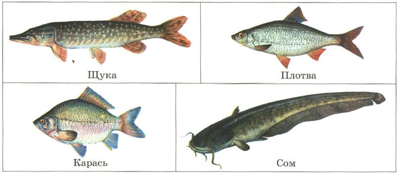 Рыбы строение питание движение органы чувств дыхание  Пресноводные рыбы щука плотва карась сом