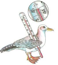 Температура тела птицы