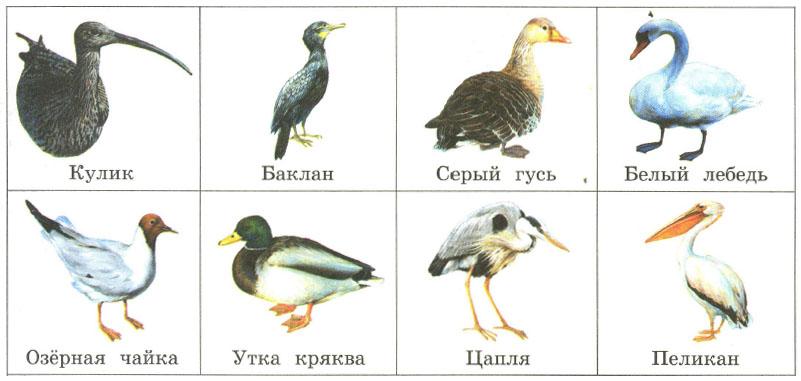 Перелетные птицы утки доклад 3028