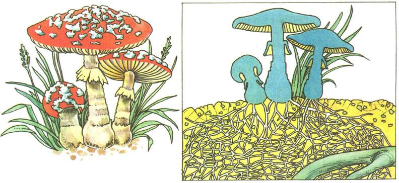 Грибы строение роль в природе Дрожжи использование человеком  Не только мухомор но и огромное большинство остальных грибов это сплетение нитей грибницы Нити могут быть не только в почве