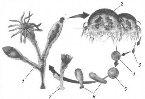 Схема жизненного цикла полипа