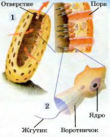 Реферат по биологии тип губки 4860