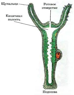 Реферат по биологии гидра 939