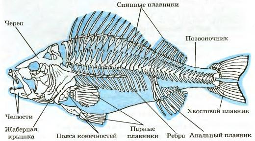 Скелет речного окуня