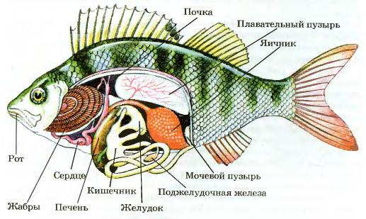 Пищеварительная и выделительная система рыб Биология Реферат  Рис 165 Внутреннее строение рыб