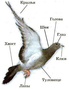 Внешнее строение птиц Биология Реферат доклад сообщение  Внешнее строение птиц