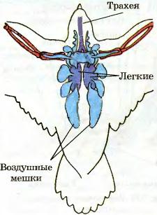 Кровеносная и дыхательная система птиц Биология Реферат доклад  Рис 214 Строение дыхательной системы птиц
