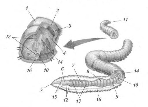 червя: 1 — кутикула;