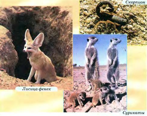 Пустыни и полупустыни Африки География Реферат доклад  Обитатели пустынь и полупустынь скорпион лисица фенек сурикаты