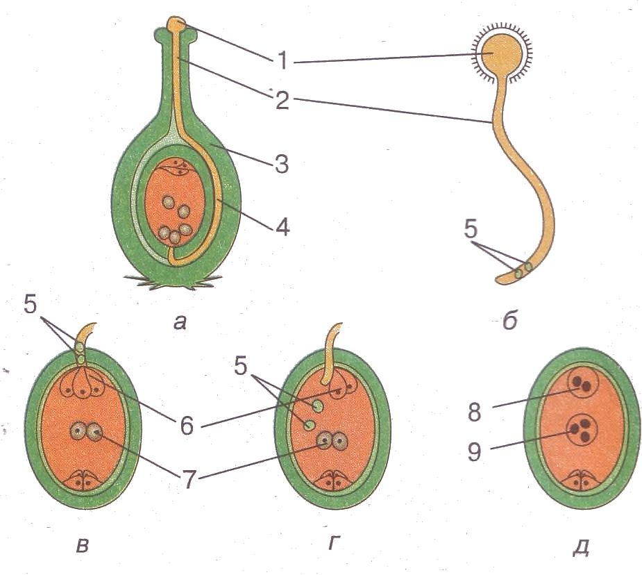 Схемы двойного оплодотворения