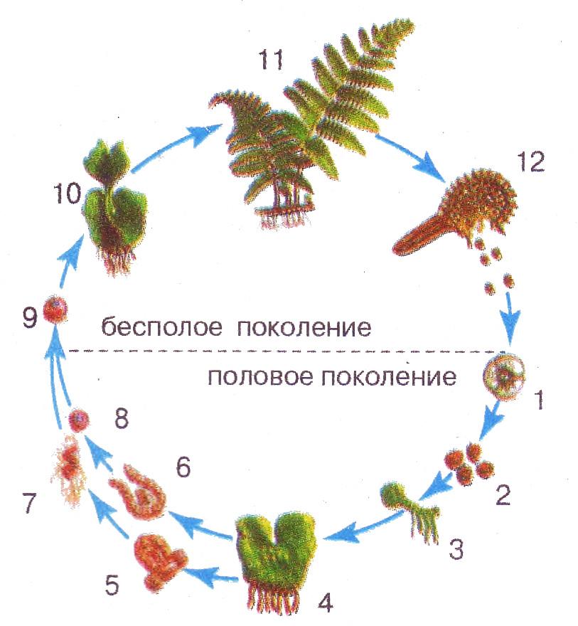 Жизненные циклы у высших растений Биология Реферат доклад  Жизненные циклы у высших растений