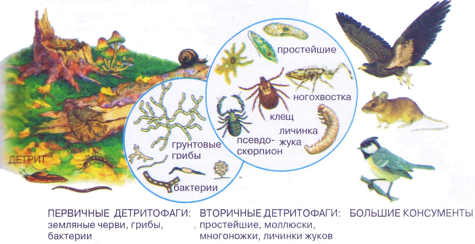 Схема цепи питания животных тайги фото 137
