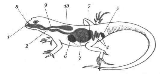 системы ящерицы: 1 — рот;