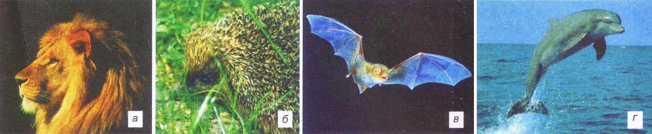 Учение Ч Дарвина о естественном отборе дарвинизм Биология  Рис 163 Все заметные признаки этих видов млекопитающих а грива у льва б иголки у ежа в крылья у летучей мыши г голая кожа у дельфина являются