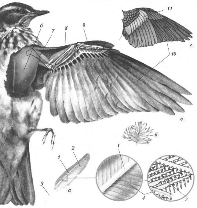Покровы оперение птицы Биология Реферат доклад сообщение  Рис 42 5 Строение контурного пера а 1 стержень 2 опахало 3 очин 4 бородки 5 бородки с крючочками Пух б