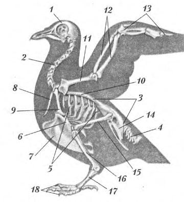 Опорно двигательная система птицы скелет и мышцы Биология  Скелет птицы 1 череп 2 шейный отдел позвоночника 3 грудной поясничный крестцовый отделы позвоночника 4 хвостовой отдел позвоночника