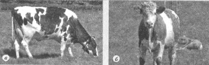 Животноводство Биология Реферат доклад сообщение краткое  Рис 1 Породы коров черно пестрая а симментальская б