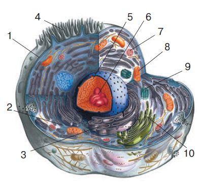 Общее строение клетки клеточная мембрана цитоплазма органеллы  Схематическое строение клетки 1 клеточная мембрана 2 цитоплазма 3 эндоплазматическая сетка 4 реснички 5 ядро 6 ядрышко 7 лизосома
