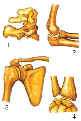 Соединения костей подвижные полуподвижные и неподвижные  Рис 19 Разные формы суставов 1 цилиндровая 2 блокоподобная 3 шаровидная 4 элипсовидная