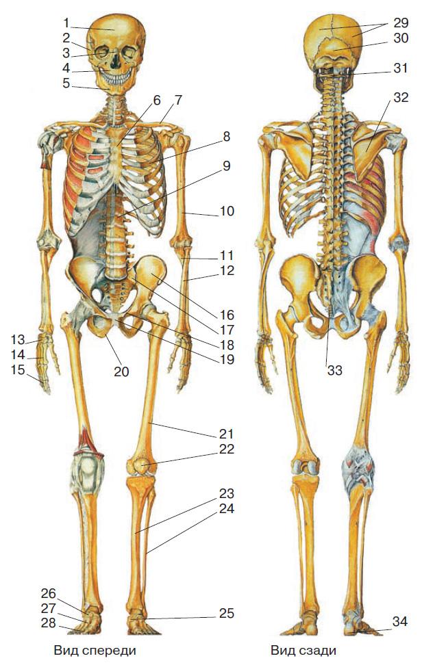Скелет человека рисунок Биология Реферат доклад сообщение  Кости скелета 1 лобная 2 височная 3 носовая 4 верхняя челюсть 5 нижняя челюсть 6 грудина 7 ключица 8 рёбра