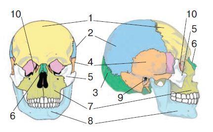Скелет головы череп Биология Реферат доклад сообщение  Кости черепа 1 лобная 2 теменная 3 затылочная 4 височная 5 скуловая 6 носовая 7 верхнечелюстная 8 нижнечелюстная