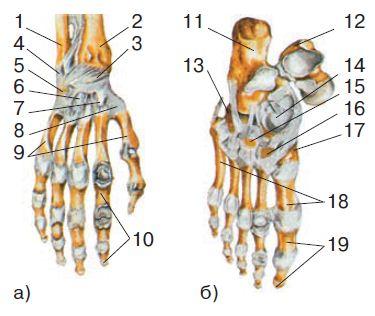Скелет верхних и нижних конечностей Биология Реферат доклад  Скелет кисти а и стопы б а 1 локтевая кость 2 лучевая кость 3 8 кости запястья 9 кости пястья 10 фаланги пальцев б 11 пяточная кость