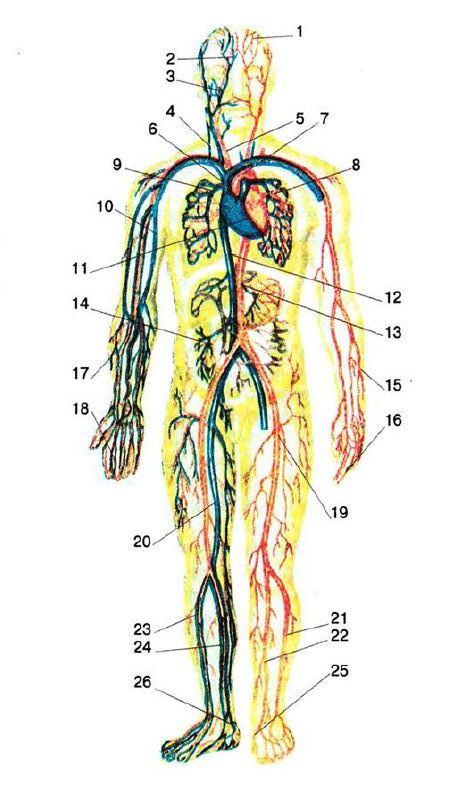 Гемоглобин из вены норма