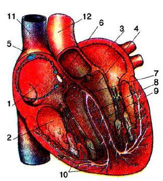 Функции сердца насосная автоматия возбудимость проводимость  Ведущая система сердца 1 правое предсердие 2 правый желудочек 3 левое предсердие 4 левый желудочек 5 синусопредсердный узел