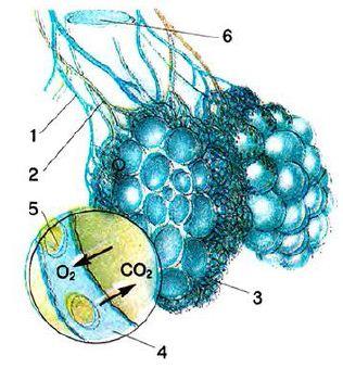 Анатомическое строение лёгких Альвеолы Биология Реферат  Рис 74 Строение альвеол 1 кровь насыщенная углекислым газом 2 кровь насыщенная кислородом 3 лёгочные капилляры 4 капилляр 5 эритроциты