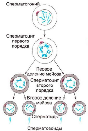 Гистология сперматогенез