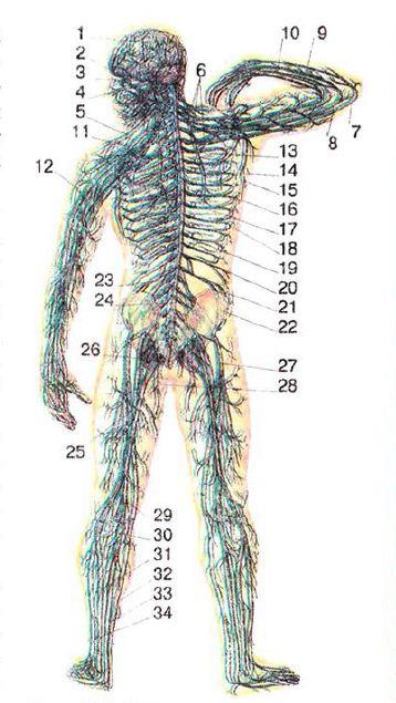 Отделы нервной системы центральная и периферическая соматическая  Нервная система 1 головной мозг 2 зрительный нерв 3 ушно височный нерв 4 лицевой нерв 5 надключичный нерв 6 плечевое сплетение