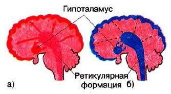 Сон и его физиологические механизмы Биология Реферат доклад  Рис 207 Состояние коры больших полушарий головного мозга и подкорковых структур во время активности а и сна б