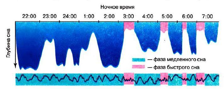 Фазы сна медленный быстрый сон и сновидения Биология Реферат  Фазы ночного сна человека