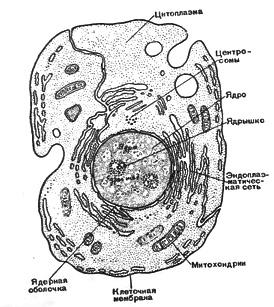 Изучение строения клетки в микроскопе Биология Реферат доклад  Современная схема строения клетки основанная на наблюдениях в электронном микроскопе