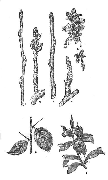 Разрез стебля осины