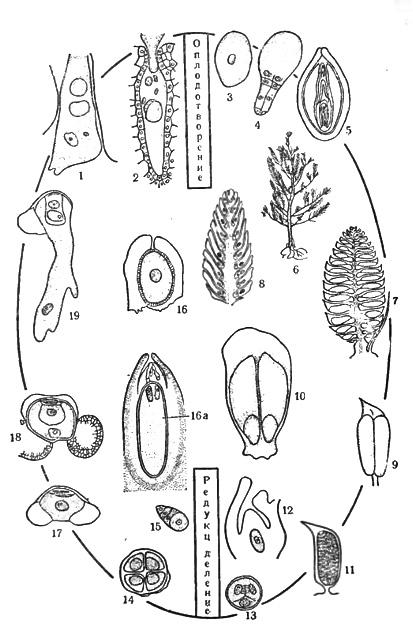 Схема цикла развития сосны: 1