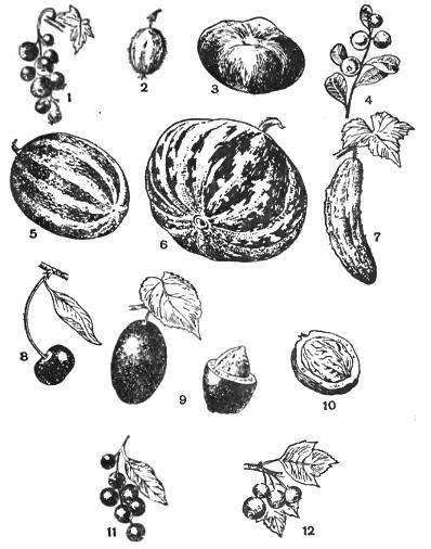 Сочные плоды ягода костянка Биология Реферат доклад  Ягодообразные плоды 5 арбуз 6 тыква 7 огурец Костянка 8 вишня 9 слива 10 грецкий орех 11 черемуха Многосемянная костянка 12
