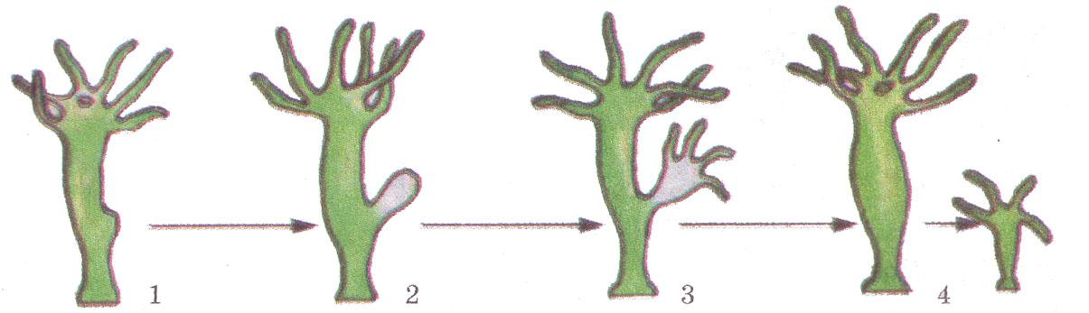 Бесполое размножение деление почкование вегетативное  Рис 2 Стадии бесполого размножения гидры 1 начало формирования вегетативной почки 2 её рост 3 завершение формирования 4 обособление