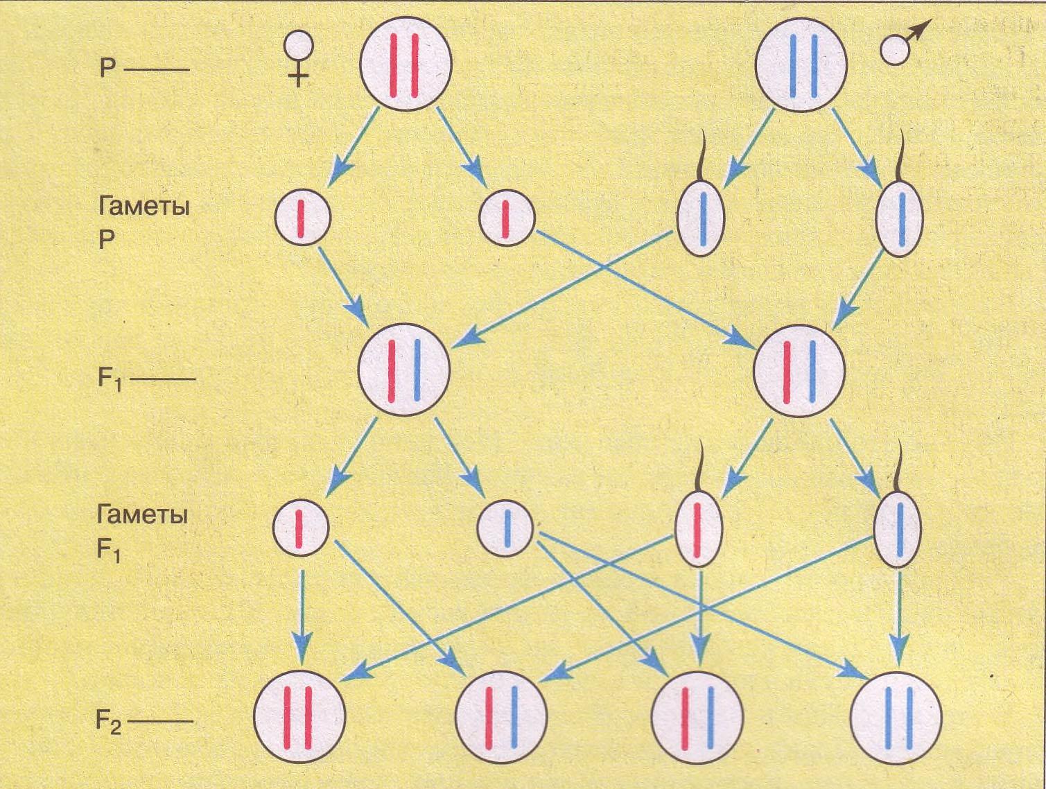 Второй закон Менделя закон расщепления и закон чистоты гамет  Цитологические основы моногибридного скрещивания и закона чистоты гамет Хромосомы несущие доминантный признак жёлтый цвет окраски гороха красные