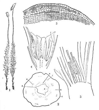Кукушкин лен (Polytrichum
