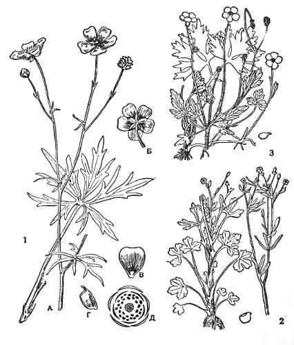 Доклад на тему цветок лютик 8199