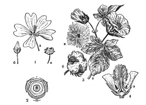 цветы семейства мальвовых фото