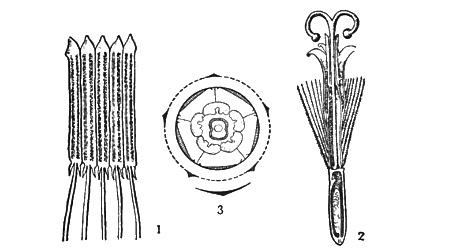диаграмма цветка сложноцветных